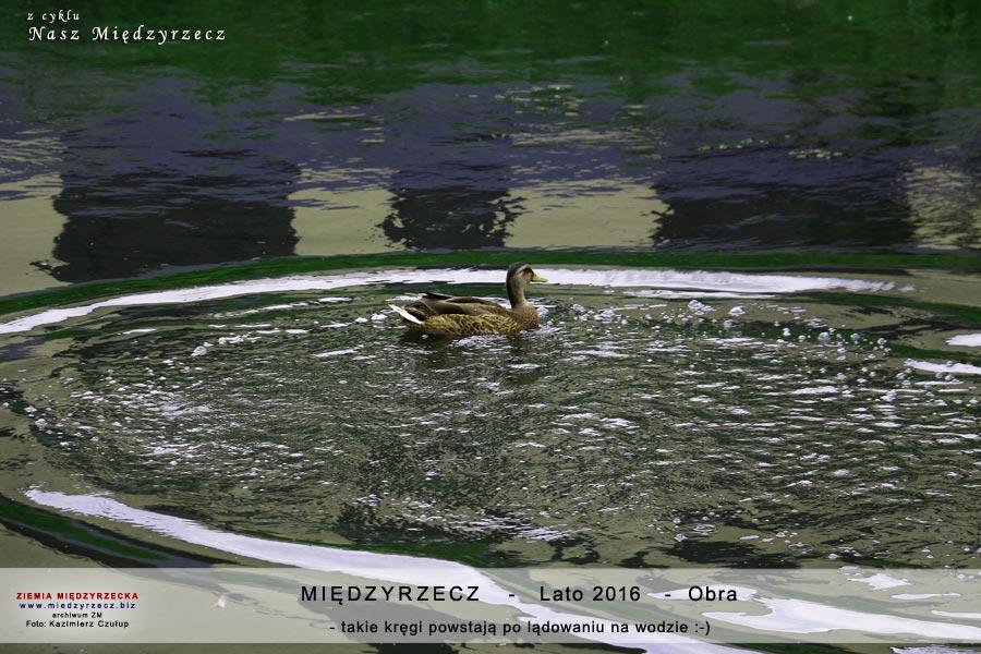 Międzyrzecz - rzeka Obra. - międzyrzeckie kaczki
