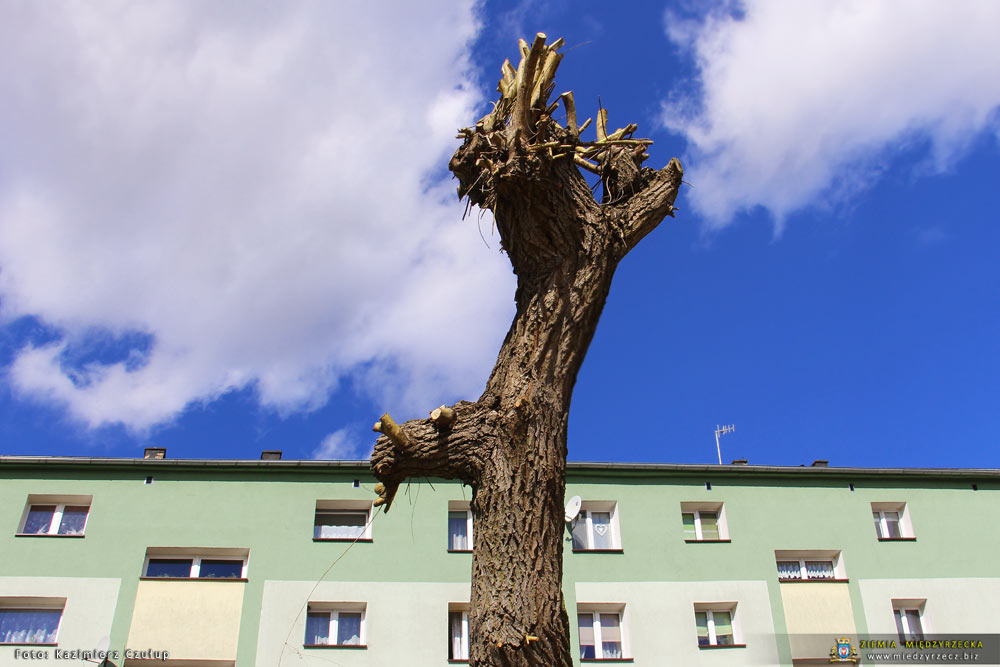 Sezonowe przycinanie drzew w Międzyrzeczu