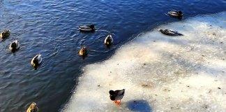 Ptaki Wodne W Międzyrzeczu 000