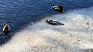 Ptaki Wodne W Międzyrzeczu 001