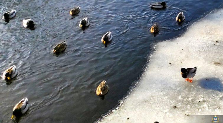 Ptaki Wodne W Międzyrzeczu 003