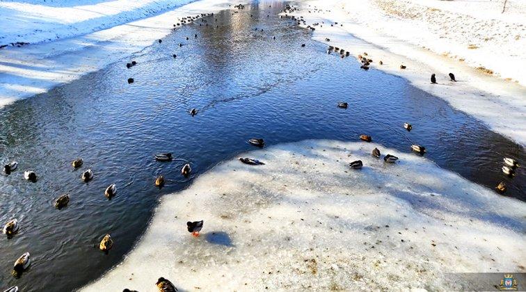Ptaki Wodne W Międzyrzeczu 004