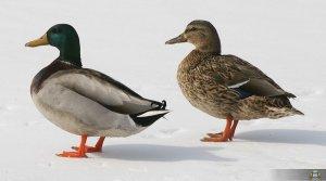 Ptaki Wodne W Międzyrzeczu 005
