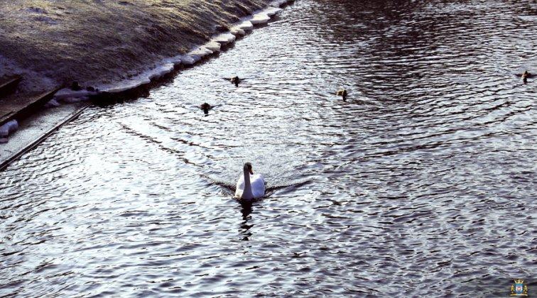 Ptaki Wodne W Międzyrzeczu 008