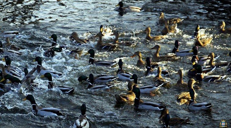 Ptaki Wodne W Międzyrzeczu 009