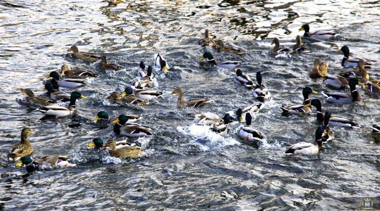 Ptaki Wodne W Międzyrzeczu 010