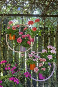 2021 geraniums 3000 colourful get together garden 07