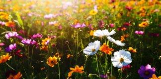międzyrzecz Łąki kwietne trawniki 000