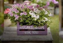 geraniums get together garden 000